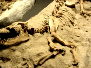 Fossile de Rex
